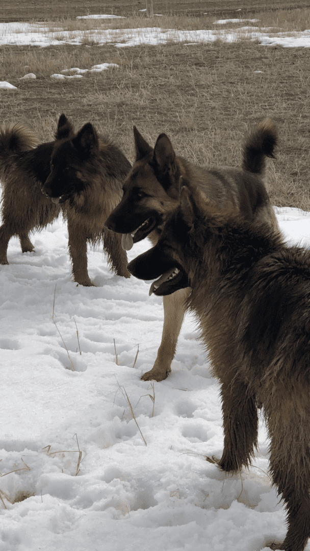 Pure Heart German Shepherds