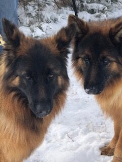 Two German Shepherds on the snow