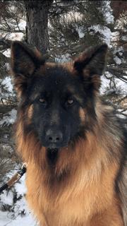 A close-up of a German Shepherd (2)