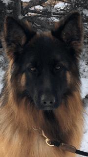 A close-up of a German Shepherd (1)