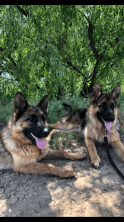 Two German Shepherds with their tongues out