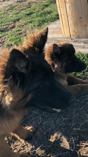 Two German Shepherds, side view