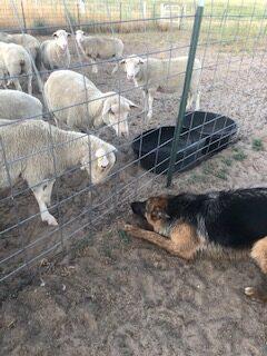 Sheep looking at a dog
