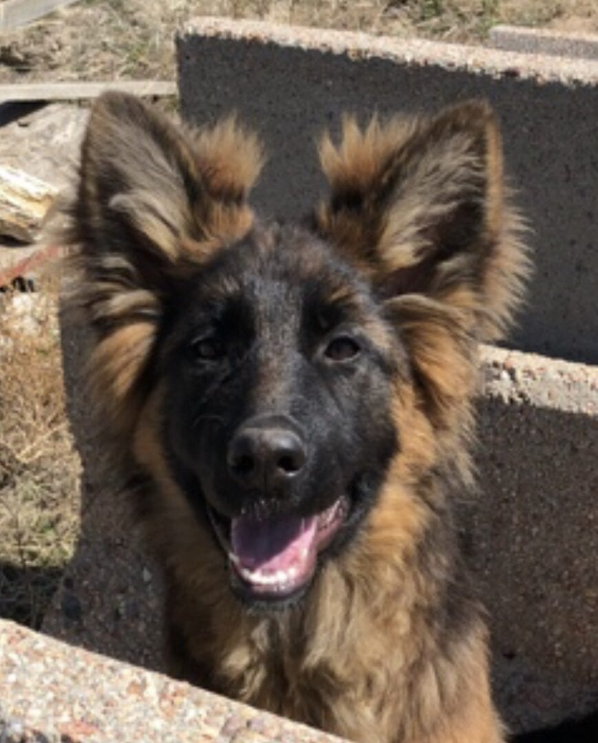 A German Shepherd smiling