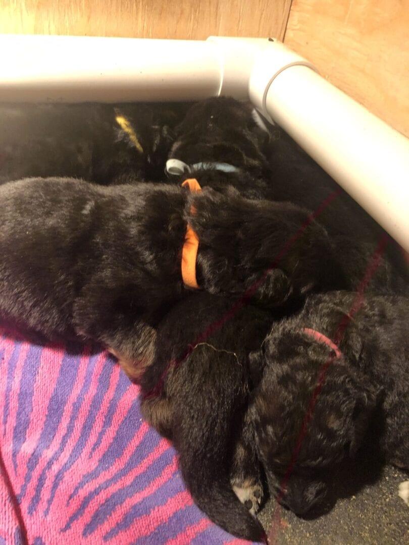 A litter of German Shepherd puppies