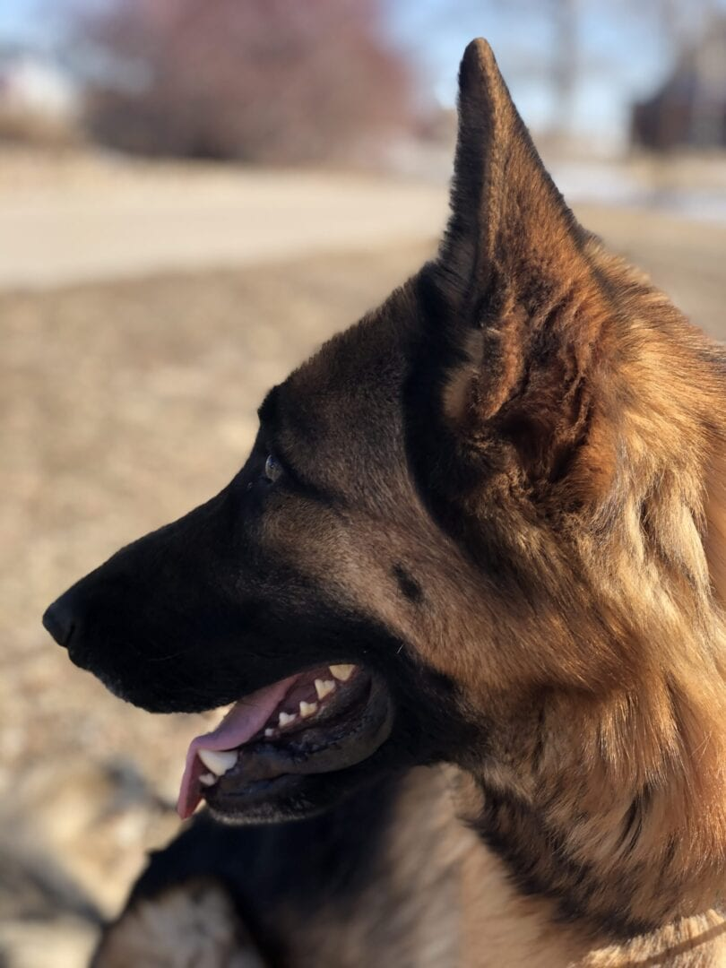 A German Shepherd with their tongue out (side view)