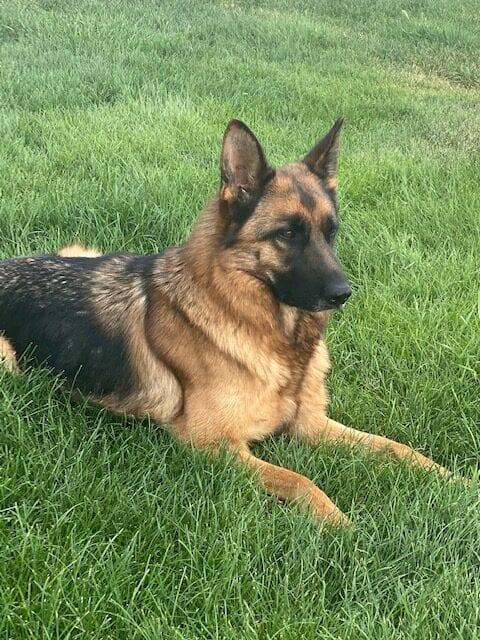 A German Shepherd on the grass