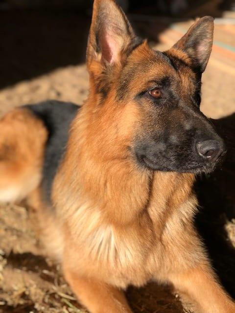 German Shepherd - Shico