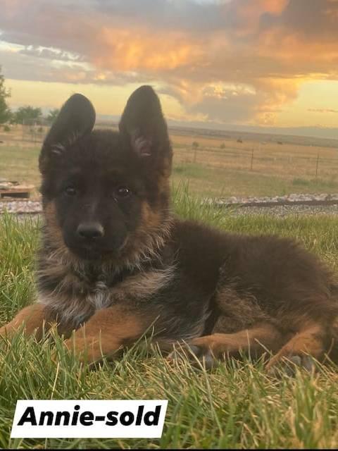 German Shepherd puppy - Annie