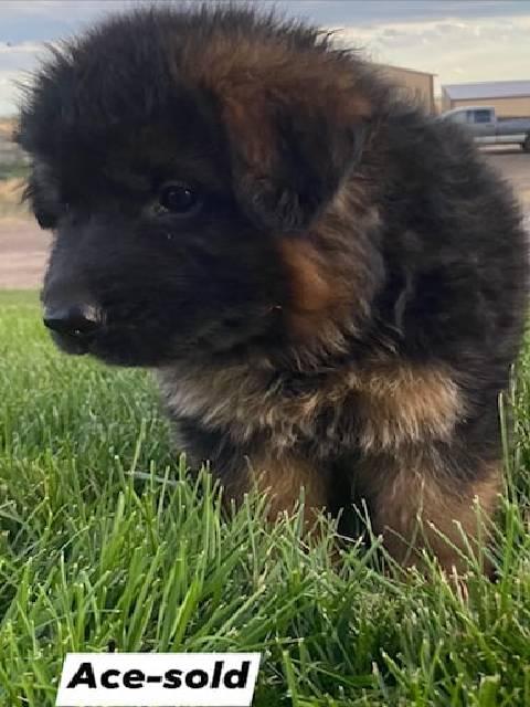 German Shepherd puppy - Ace