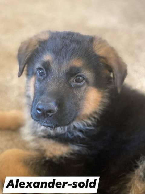 German Shepherd puppy - Alexander