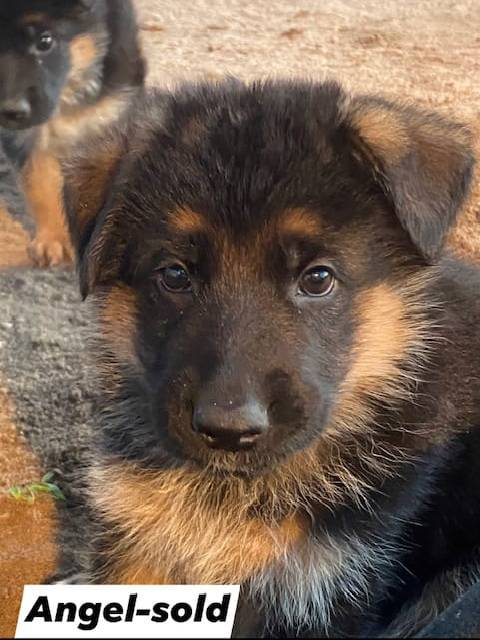 German Shepherd puppy - Angel