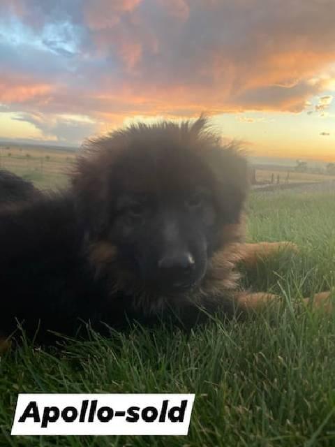 German Shepherd puppy - Apollo