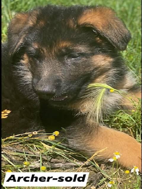 German Shepherd puppy - Archer