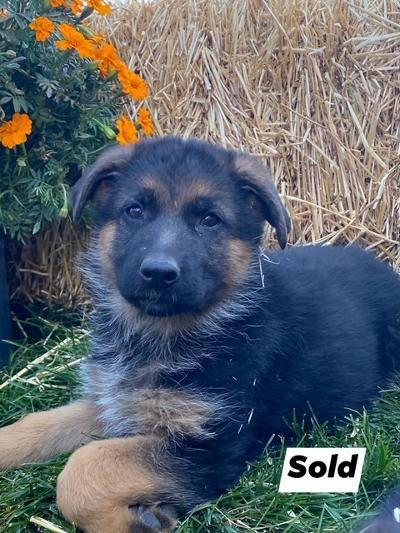 A German Shepherd puppy 1
