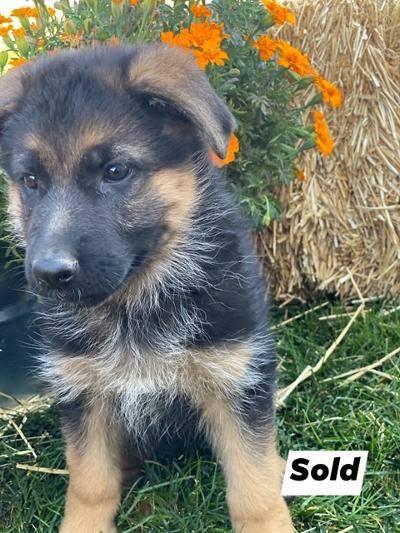 A German Shepherd puppy 2