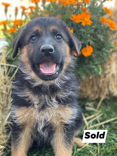 A German Shepherd puppy 5