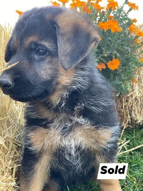 A German Shepherd puppy 4