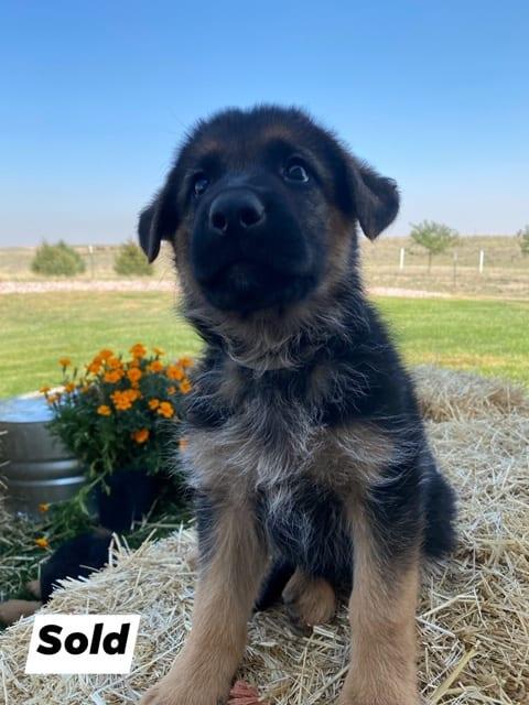 A German Shepherd puppy 3